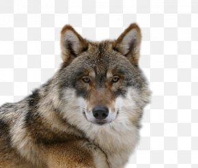 Affectionate Wolf - Czechoslovakian Wolfdog Saarloos Wolfdog Alaskan Tundra Wolf Coyote Puppy PNG