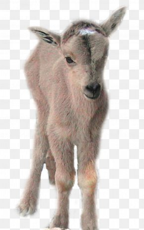 Goat - Goat Gray Wolf Barbary Sheep Cattle PNG