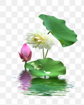 Lotus Lotus - Nelumbo Nucifera Download PNG
