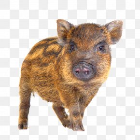 A Wild Boar - Wild Boar Bird Game Hogs And Pigs PNG