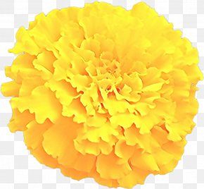 Chrysanths Cut Flowers - Flowers Background PNG