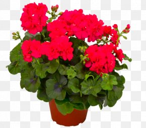 Flower - Geraniums Houseplant Flower Bloody Crane's-bill PNG