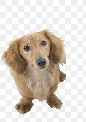 Yellow Small Dog,Xi Shi,puppy,lovely - Dachshund Pug Bichon Frise Beagle Shiba Inu PNG