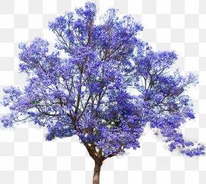 Flower Tree - Jacaranda Mimosifolia Empress Tree Seed Bonsai PNG