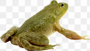 Green Frog - Frog Photoshop Contest PNG