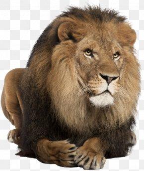 Roar - Lionhead Rabbit East African Lion Felidae White Lion Roar PNG