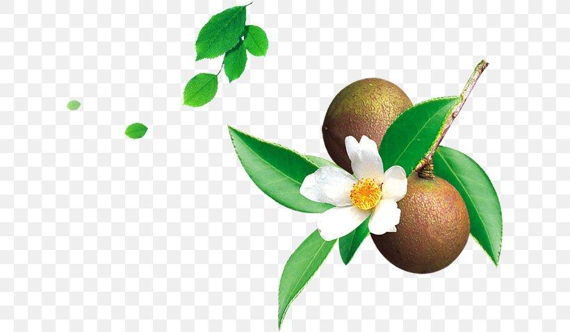 Tea Seed Oil Mount Abura Camellia Sinensis Camellia Oleifera, PNG, 629x478px, Tea, Camellia Oleifera, Camellia Sinensis, Canola, Cooking Oil Download Free
