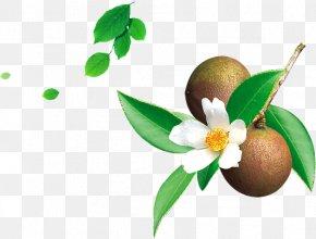 Tea Oil,tea Tree - Tea Seed Oil Mount Abura Camellia Sinensis Camellia Oleifera PNG