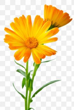 Marigold - Calendula Officinalis Flower Marigold PNG