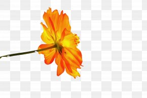 Mallow Family Wildflower - Flowers Background PNG
