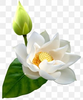 Lotus HD - Nelumbo Nucifera Flower Clip Art PNG