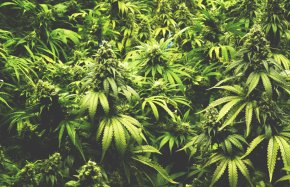 Marijuana - Medical Cannabis Legality Of Cannabis By U.S. Jurisdiction Decriminalization PNG