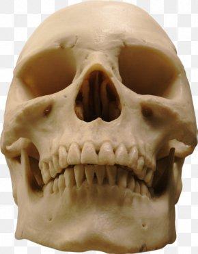 Skull - Human Skull Human Skeleton Homo Sapiens PNG