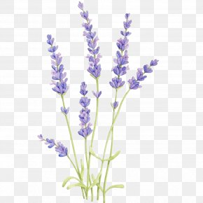 Painting - English Lavender Drawing Watercolor Painting Botanical Illustration Watercolor: Flowers PNG