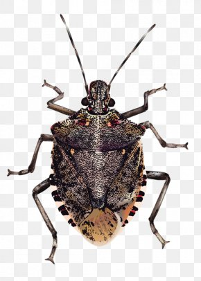 Bugs Transparent Background - Insect Brown Marmorated Stink Bug True Bugs PNG