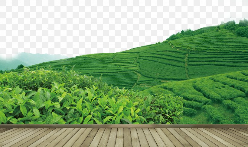 Tea Garden Yum Cha, PNG, 1575x939px, Tea, Agriculture, Camellia Sinensis, Crop, Field Download Free