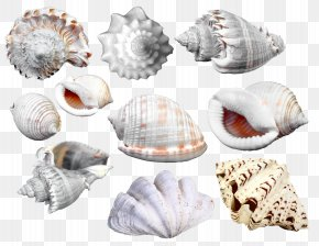 Scallops Conch Collection - Picture Frame Seashell Cdr Clip Art PNG