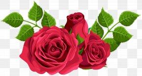 Red Roses Decorative Clip Art Image - Garden Roses Centifolia Roses Clip Art PNG