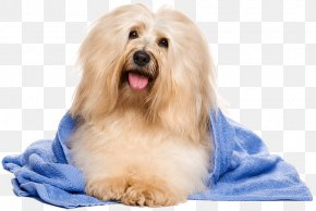 Cat - Havanese Dog Cat Bichon Frise Yorkshire Terrier Dog Grooming PNG