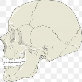 Skull Profile Cliparts - Skull Human Head Human Skeleton Head And Neck Anatomy Clip Art PNG