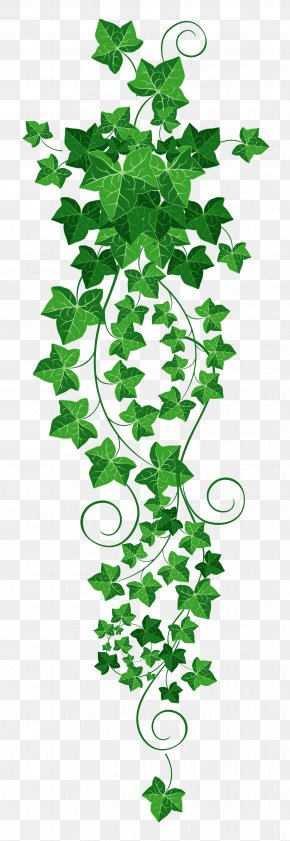 Vine Cliparts Transparent - Common Ivy Vine Clip Art PNG