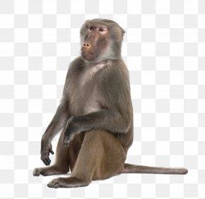 Monkey Clipart - Mandrill Hamadryas Baboon Primate Ape Monkey PNG