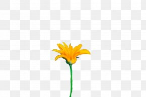 Calendula Wildflower - Petal Cut Flowers Plant Stem Yellow Daisy Family PNG