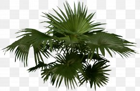 Palm - Arecaceae Woody Plant Tree PNG