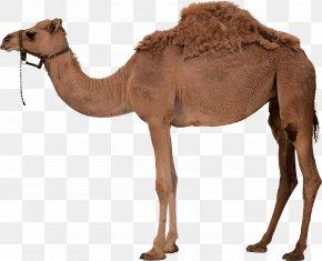 Camel 7 - Dromedary Bactrian Camel Desert PNG