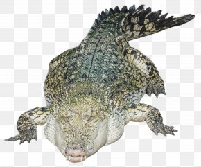 Alligator Photo - Nile Crocodile Alligator PNG