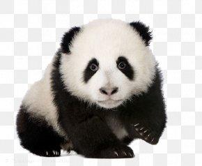 Giant Panda Vertebrate Book PNG