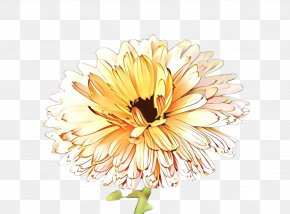 Aster Barberton Daisy - Watercolor Flower Background PNG