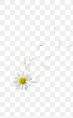 Floating - Oxeye Daisy Daisy Family Petal Flower Plant PNG