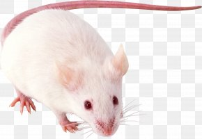 Mouse, Rat Image - Russkiy Toy Pug Poodle German Shepherd Rat PNG