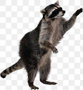 Raccoon - Peterborough Raccoon Regional Municipality Of Durham Pest Control Letter PNG