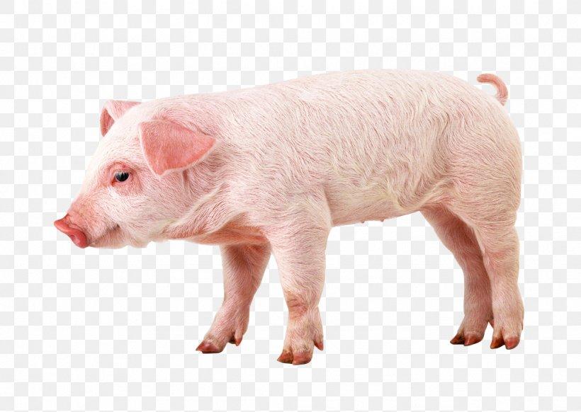 Berkshire Pig Wallpaper Png 1024x727px Berkshire Pig