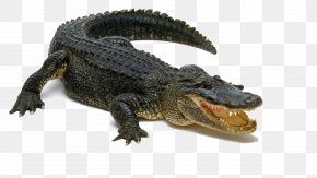 Alligator Pic - Alligator Display Resolution PNG