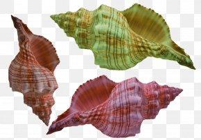 Conch With Gorgeous Stripes - Euclidean Vector Gratis PNG