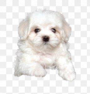 Puppy - Maltese Dog Havanese Dog Coton De Tulear Bolognese Dog Little Lion Dog PNG
