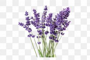 Plant - English Lavender Lavandula Latifolia Lavender Oil Plant French Lavender PNG