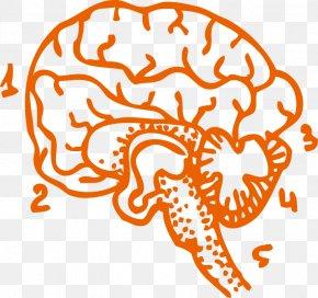 The Human Brain Vector Material - Human Brain Cerebrum Clip Art PNG