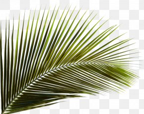 Green Coconut Leaves - Arecaceae Leaf Palm Branch Areca Palm Coconut PNG
