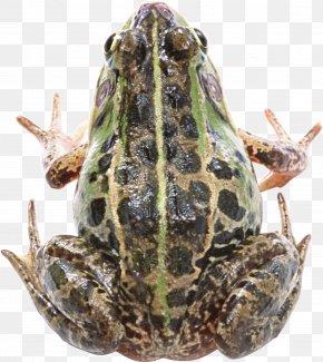 Frog - Frog Clip Art PNG