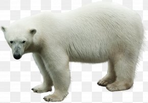 Polar Bear - Polar Bear Animal Clip Art PNG