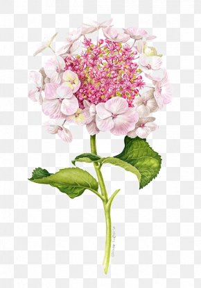 Lilac - Flower Drawing Illustration PNG