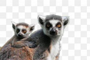 Koala Size - Ape Lemuridae Monkey Pixabay Mammal PNG