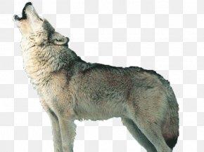 Wolf - Czechoslovakian Wolfdog Saarloos Wolfdog Kunming Wolfdog Coyote Alaskan Tundra Wolf PNG