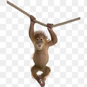 Orangutan - Orangutan Monkey Desktop Wallpaper PNG