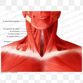 Neck Muscle - Sternocleidomastoid Muscle Head And Neck Anatomy Human Body PNG