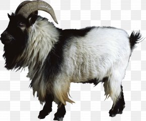 Goat - Goat Sheep Cattle PNG